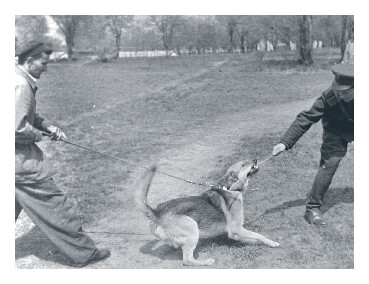 German shepherd undergoing police dog training in Hungary 1954