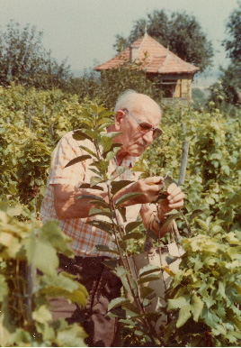 Pista tending to his grape on a small patch of vineyard land