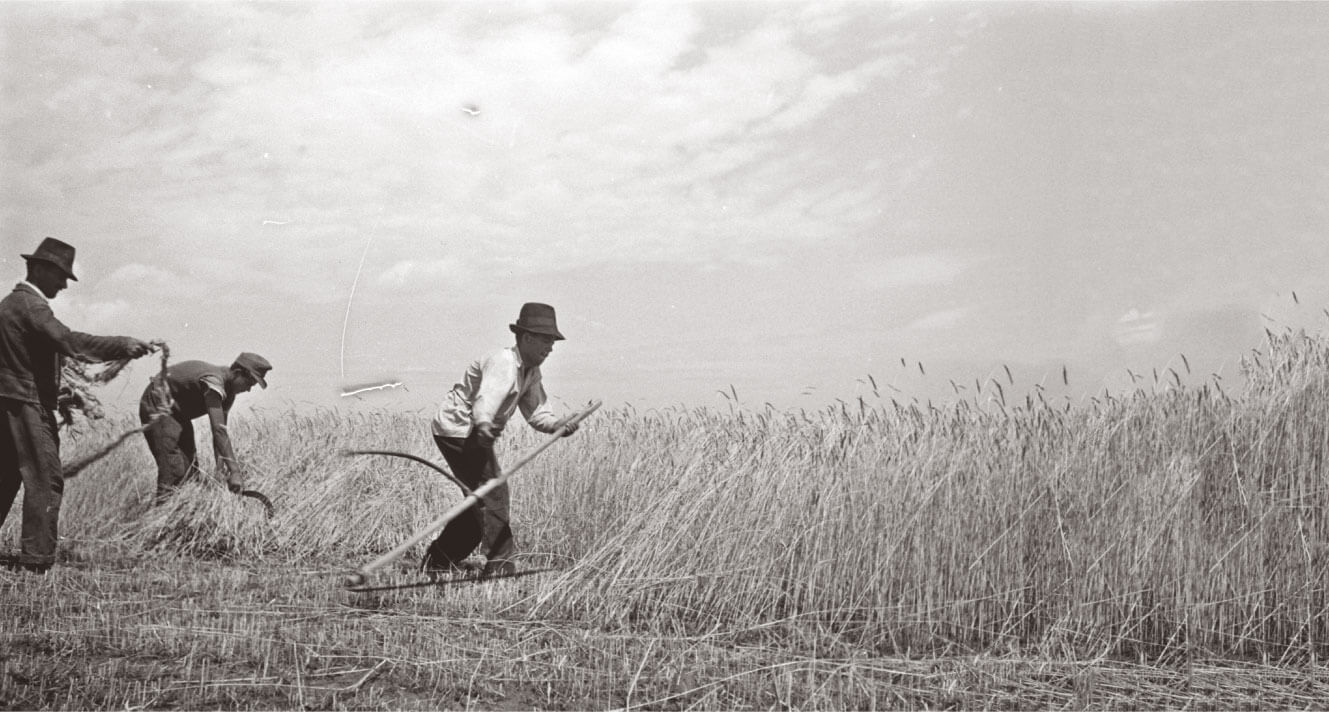 Harvest in Hungary with scythes in 1940s